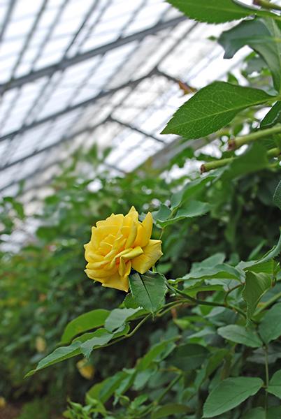真夏の農園のバラ(黄色)です。