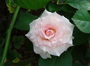 高山ローズ品種:小輪系:ファンシーローラ